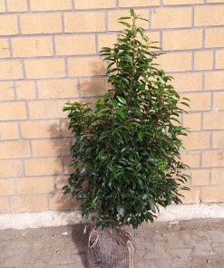 Heckenpflanzen, beste Heckenpflanzen 2021, Heckenpflanzen Kamen, Portugiesischer Kirschlorbeer