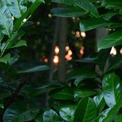 Heckenpflanzen, Kirschlorbeer Novita