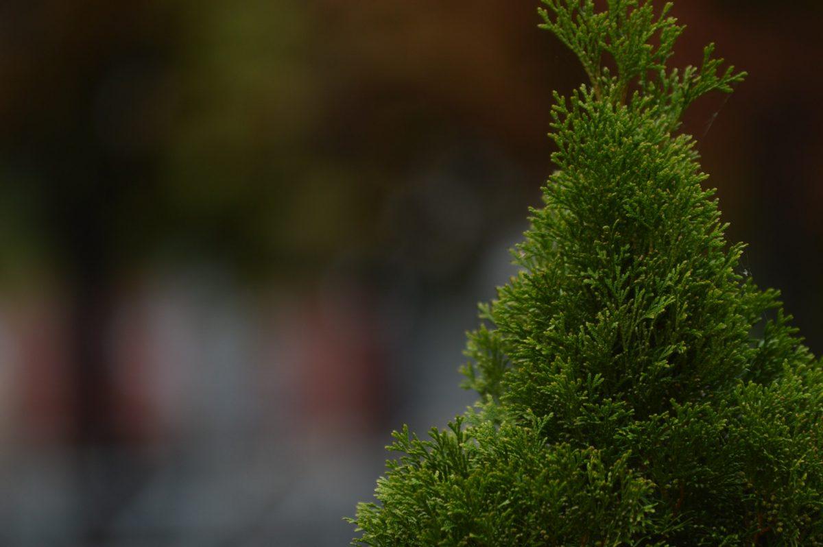 Heckenpflanzen, Lebensbaum, Thuja Smaragd